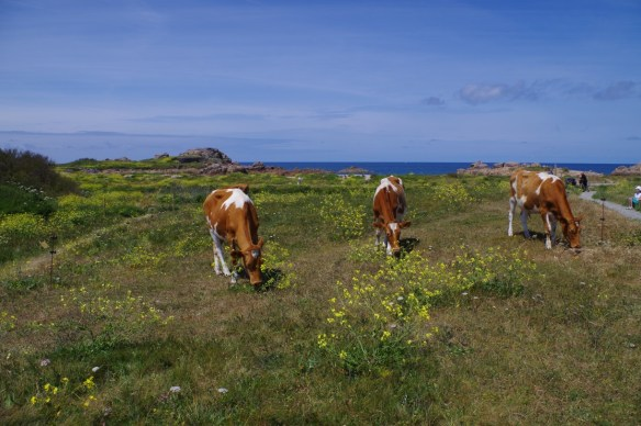 The Conservation Herd at Port Soif, Guernsey. Photo by Consrvation Herd