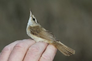 Paddyfield warbler. Jersey 2014. Photo by Mick Dryden