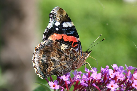 Red admiral. Photo by Mick Dryden