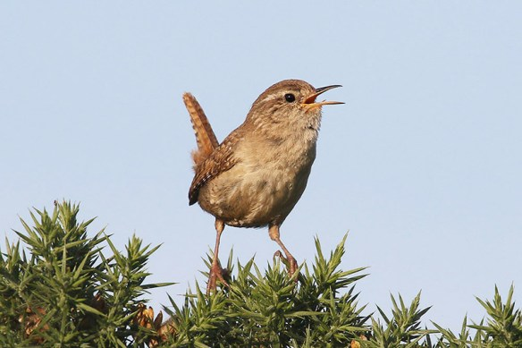 Wren 3. Photo by Mick Dryden