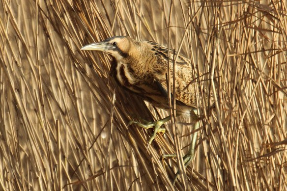 Bittern. Photo by Mick Dryden