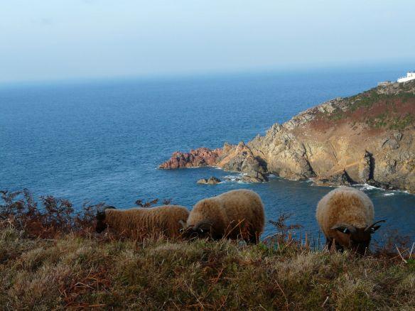 Manx loaghtan sheep at Le Don Paton. Photo by Aaron le Couteur (2)