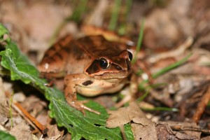 Agile frog. Photo by Department of the Environment