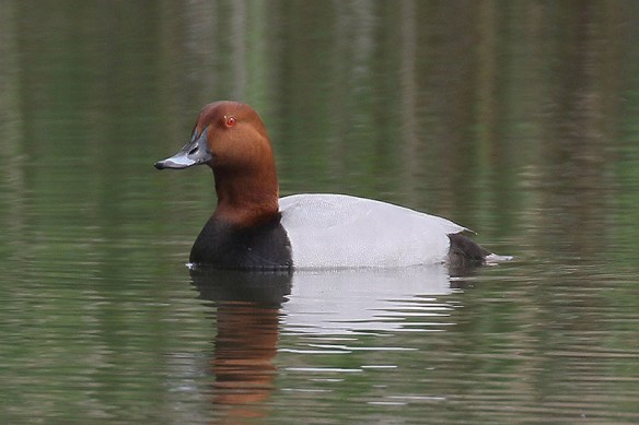 Common pochard male. Photo by Mick Dryden