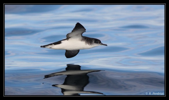 Manx shearwater. Photo by Regis Perdriat