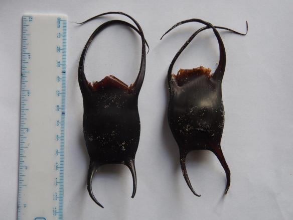 Cuckoo ray egg cases. Photo by Paul Chambers and Mar Biol Section. 2016