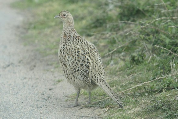 Pheasant (female). Photo by Mick Dryden
