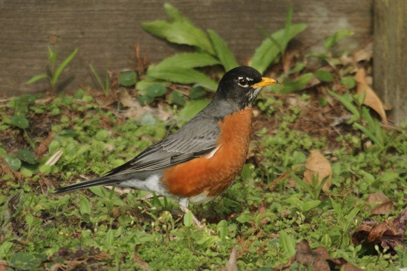 American robin. Photo by Mick Dryden