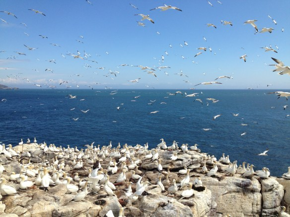 Northern gannets on Ortac, Alderney. Photo courtesy of Alderney Wildlife Trust