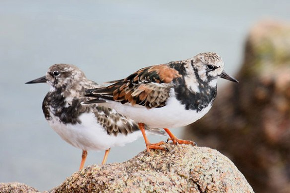 Ruddy turnstone (2). Photo by Mick Dryden