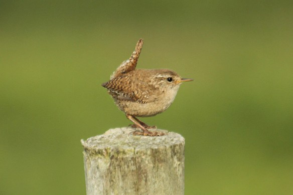 Wren (2). Photo by Mick Dryden