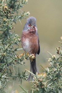 Dartford warbler July 2006. Photo by Mick Dryden
