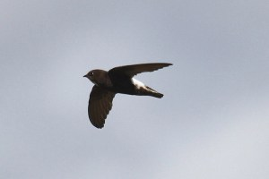 Little (house) swift. Photo by Mick Dryden