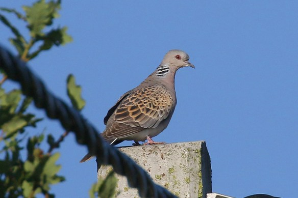 turtle-dove-photo-by-mick-dryden-5