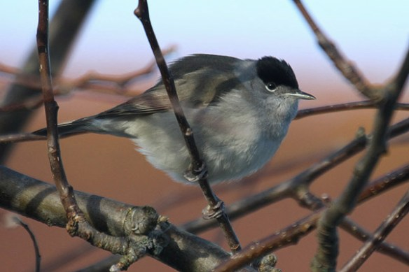 blackcap-2-photo-by-mick-dryden