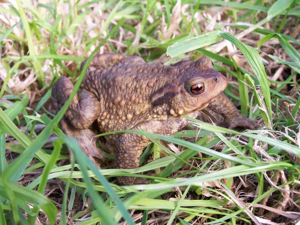 common-toad-photo-by-john-wilkinson