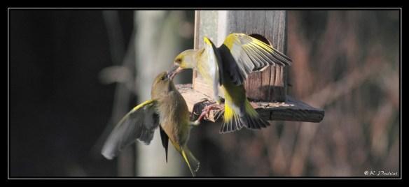 Greenfinch (2). Photo by Regis Perdriat