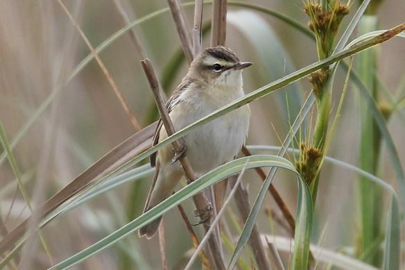 Sedge warbler (3). Photo by Mick Dryden