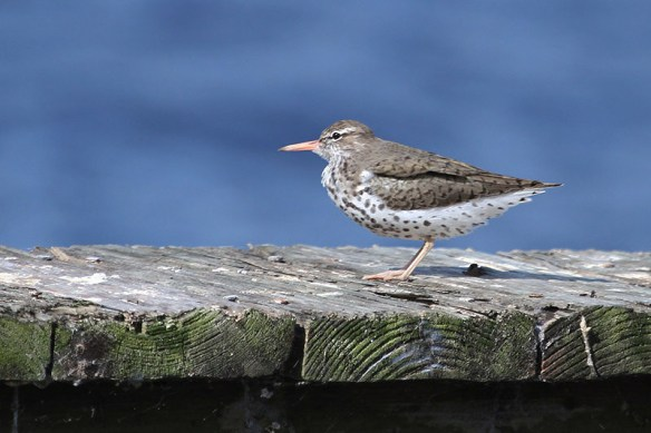 Spotted sandpiper. Photo by Miranda Collett