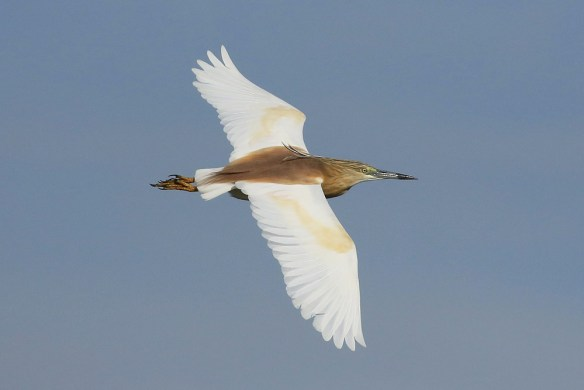 Squacco heron. St Ouen's Pond 9-5-2016. Mick Dryden