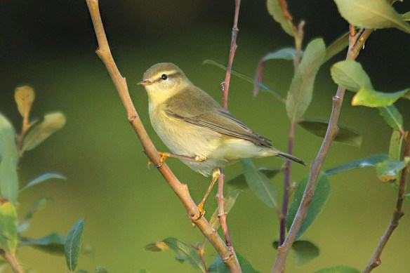 Willow warbler. Photo by Mick Dryden