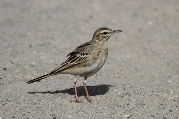 Tawny pipit. Photo by Mick Dryden