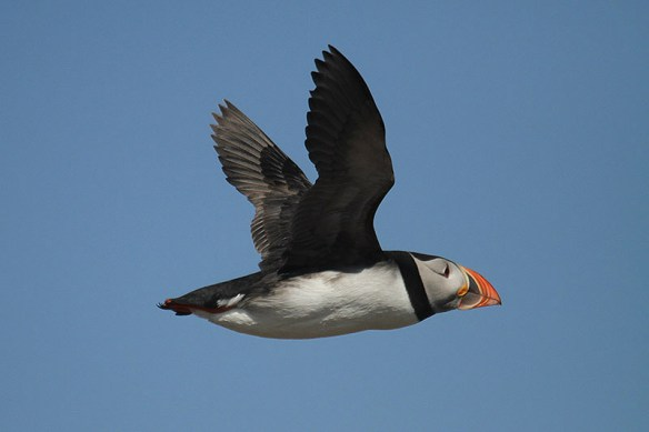 Atlantic puffin. Photo by Mick Dryden