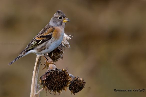 Brambling12wm