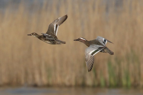 Garganey pair. Photo by Mick Dryden