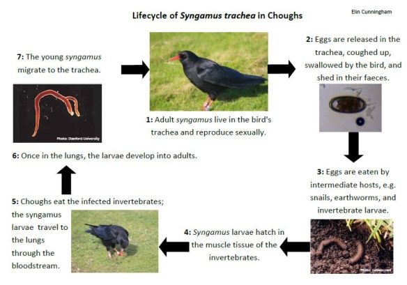 syngamus life cycle_basic_EFC