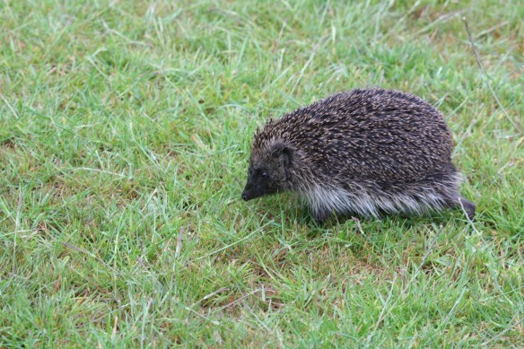 Hedgehog. Photo by Miranda collett