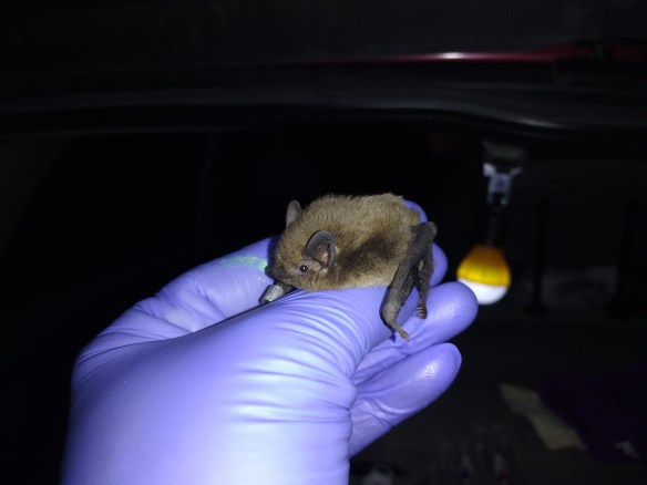 Male Nathusius pipistrelle with ring 2
