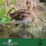 bird_sound_canti_mp3_cat_migratoria