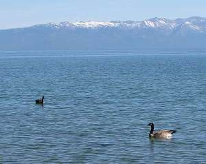 Geese on lake, mountain background