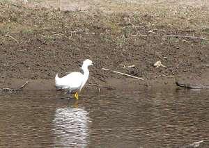 Smowy Egret wading