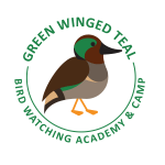 Green Winged Teal Picture