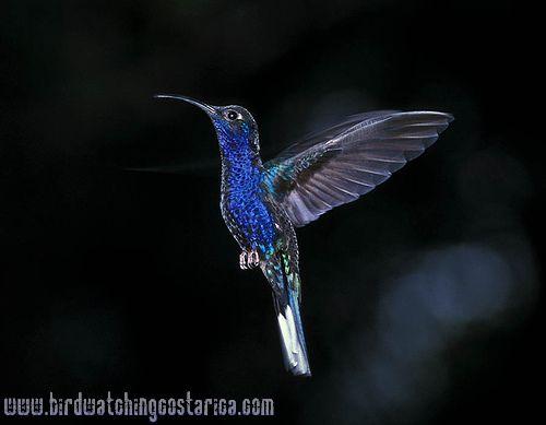 [:en]Bird Violet Saberwing[:es]Ave Ala de Sable Violáceo[:]