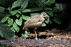 [:en]Bird Double-striped Thick Knee[:es]Ave Alcaraván Americano[:]