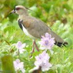 [:en]Bird Southern Lapwing[:es]Ave Alcaraván Lagunera[:]