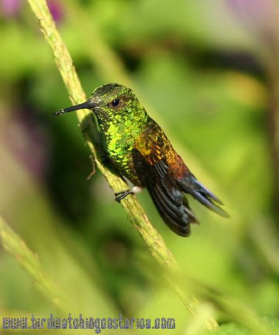 [:en]Bird Steely-vented Hummingbird[:es]Ave Amazilia Culiazul[:]