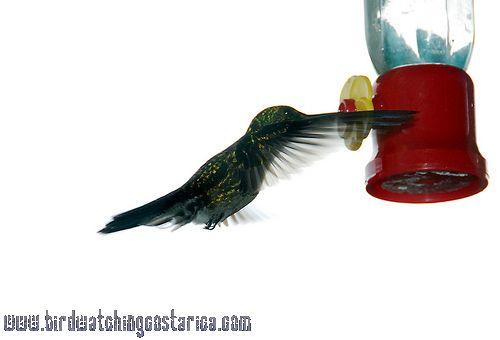 [:en]Bird Blue-crested Hummingbird[:es]Ave Amazilia Pechiazul[:]