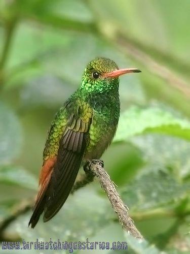 [:en]Bird Rufous-tailed Hummingbird[:es]Ave Amazilia Rabirufa[:]