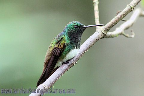 [:en]Bird Snowy-bellied Hummingbird[:es]Ave Amazilia Vientriblanca[:]