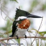 [:en]Bird Amazon Kingfisher[:es]Ave Martín Pescador Amazónico[:]
