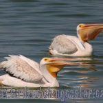 [:en]Bird American White Pelican[:es]Ave Pelícano Blanco Americano[:]