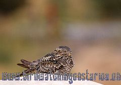 [:en]Bird Common Nighthawk[:es]Ave Añapero Zumbón[:]