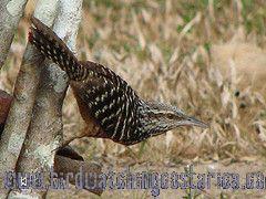 [:en]Bird Band-backed Wren[:es]Ave Soterey Matraquero[:]