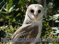 [:en]Bird Barn-Owl[:es]Ave Lechuza Ratonera[:]