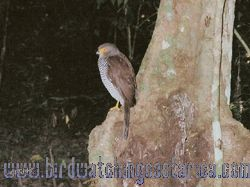 [:en]Bird Barred Forest Falcon[:es]Ave Halcón de Monte Barreteado[:]