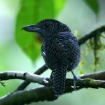 [:en]Bird Fasciated Antshrike[:es]Ave Batará Lineado[:]